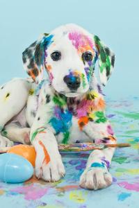 1280x2120 Dalmation Puppy
