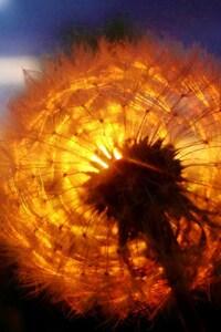 480x854 Dandelion Amazing Sunset