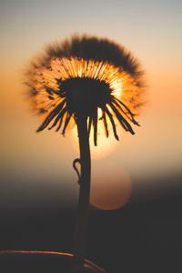 Dandelion Flower Behind Sun