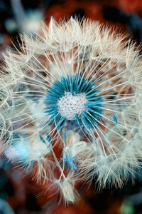 Dandelion Plant Close Up Macro