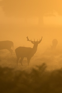Deer Fog Dusk Sunset 4k