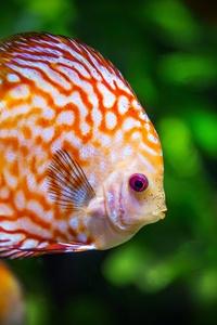 Discus Fish 5k