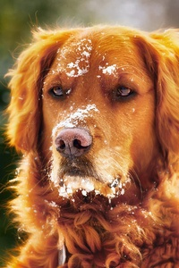 Dog In Winter With Snow Over Face