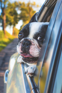 Dog Looking Outside Car Window