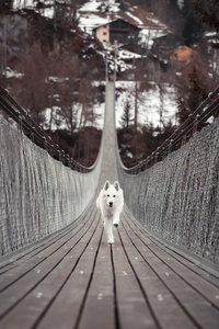 480x800 Dog Running Bridge 5k