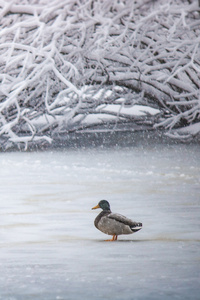540x960 Duck In Winter 5k