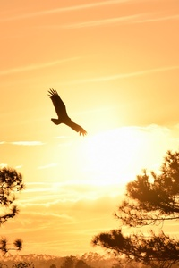 640x1136 Eagle Flying Towards Sunset 5k
