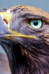 Eagle Glowing Eye 4k