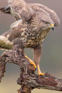 Eagle Hawk 5k