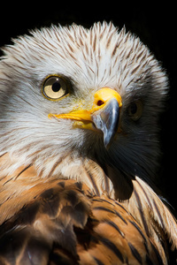 750x1334 Eagle Red Kite Black Beak 4k