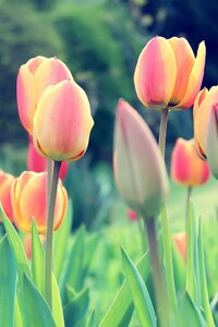 Easter Tulips