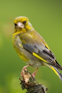 1242x2688 European Greenfinch