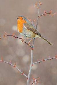 320x568 European Robin