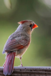 640x1136 Female Cardinal Sitting On The Fence