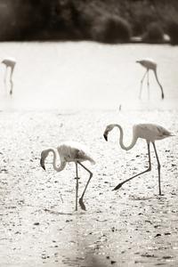 1242x2688 Flamingos At Camargue France 4k