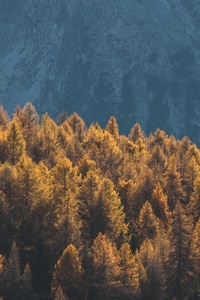 Forest Mountains Trees Tops Coniferous 4k