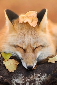 Fox Close Eyes