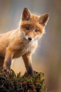 Fox Cub Baby Animal Cute Hd