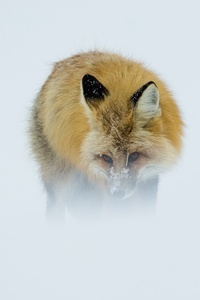 1080x2280 Fox In Winter