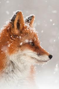 480x800 Fox Snow
