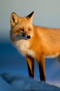 2160x3840 Fox Wild 4k