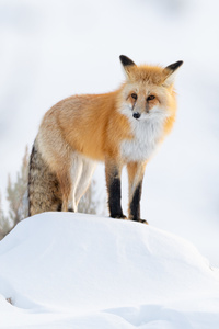 1080x2280 Fox Winter 5k