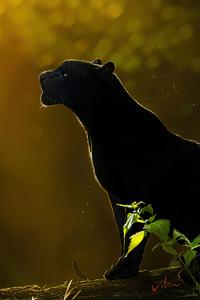Free Spirit Black Panther 4k