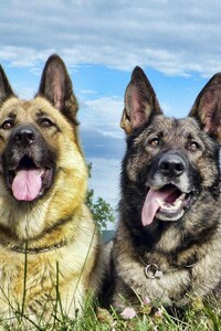 480x800 German Shepherd 4
