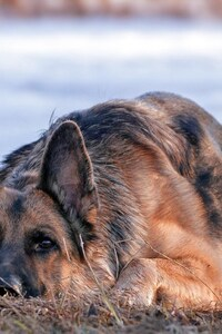 750x1334 German Shepherd Dog