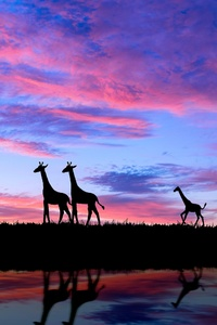 1280x2120 Giraffe Evening Silhouette 4k