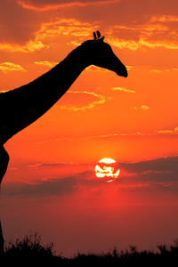 1242x2688 Giraffe Silhouette 4k