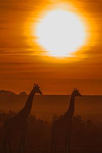 1080x2280 Giraffe Silhouette