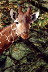 1080x2280 Giraffee 5k