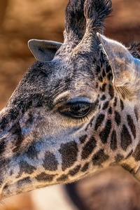 640x1136 Giraffes Head Closeup 4k