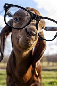 Goat got Swag