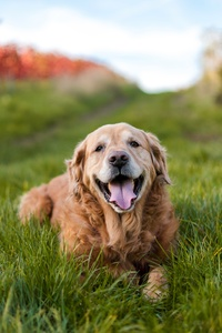1440x2960 Golden Retriever 5k