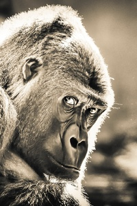 480x800 Gorilla