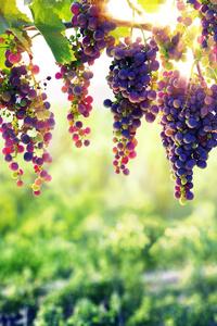 320x480 Grape 8k