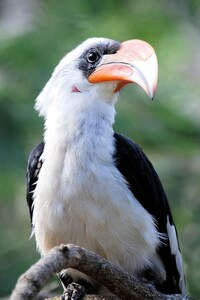 640x960 Great Hornbill Bird Beak