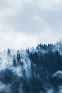 Green Pine Trees Covered With Fogs 5k