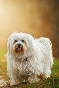 320x480 Havanese Dog Breed