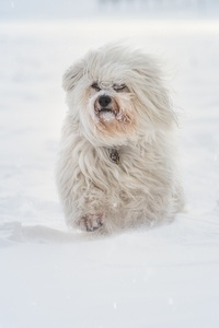 640x960 Havanese Running In Sbow