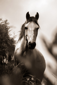 Horse Grayscale