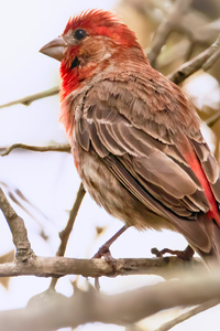 720x1280 House Finch