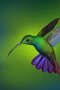 Hummingbird Hd