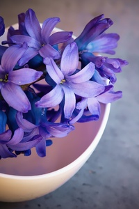 Hyacinth Flower Violet Flowers