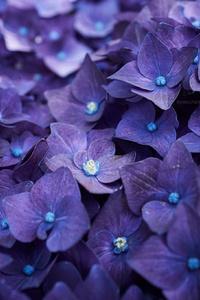 1080x2280 Hydrangea Violet Flowers