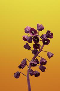 320x480 Ios 11 Flower Fritillaria