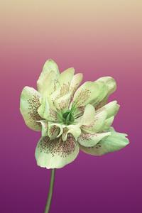 Ios 11 Flower Helleborus