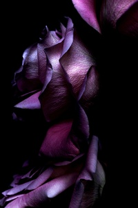 Ios11 Purple Rose 4k